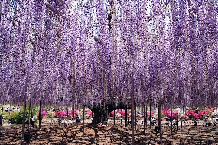 The oldest wisteria tree